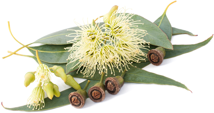 huile-essentielle-eucalyptus-smithii-bio-01